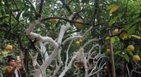 Chuyện về cây bưởi Diễn đặc biệt gần trăm năm tuổi