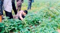 Bón phân NPK-S Lâm Thao, người trồng khoai tây lãi lớn