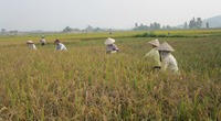 Ninh Bình: Triển khai cánh đồng liên kết trong trồng lúa
