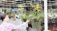 NÓNG: Cây không khí trổ hoa, giá tới nửa triệu đồng, dân miền Tây vẫn nườm nượp mua
