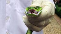 Cận cảnh lấy nọc độc chết người của rắn lục đuôi đỏ