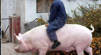 Chuyên gia cảnh báo sốc về Trung Quốc nuôi lợn khổng lồ
