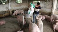 Nguy cơ thiếu thịt lợn Tết Nguyên đán: Nhiều nơi đẩy mạnh tái đàn