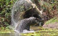 """Cá sấu rình rập tung cú đớp """"tử thần"""" đoạt mạng lợn rừng trong """"nháy mắt"""""""