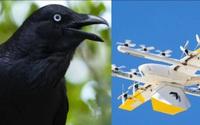 Máy bay giao hàng không người lái của Google khốn khổ vì... quạ đen