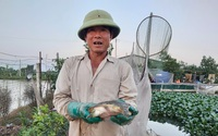 Trên đất lúa, nông dân trồng sen, nuôi tôm mà thu tiền tỷ