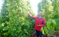 Giá tiêu tiến đến mốc 100.000 đồng/kg, chuyên gia khuyên nông dân muốn trồng mới tiêu phải có 2 điều kiện