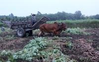 Tây Ninh: Nông dân vừa nhổ mì chạy lụt vừa tất tả đi tìm nơi tiêu thụ