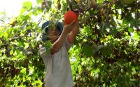 """Tiền Giang: Chỉ trồng trái """"đến từ thiên đường"""" ở hiên nhà, anh nông dân mỗi tuần thu 7 triệu"""