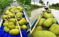 Giá mít Thái hôm nay 16/10: Giá phân bón tăng gấp đôi, người dân trồng mít Thái có lời không?