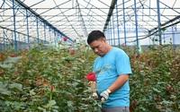 Lâm Đồng: Hoa hồng tăng giá, nông dân trồng hoa hồng thở phào