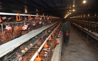 Thiệt hại 2.000 tỷ đồng vì nhiều loại dịch bệnh trên gia súc, gia cầm