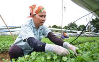 Thu nhập hơn 1 tỷ đồng mỗi năm từ vườn ươm mầm hoa cúc ở Hà Nội
