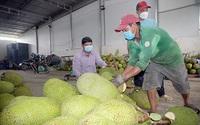 Hậu Giang: Thương lái lo thu gom mít Thái là do xuất khẩu sang Trung Quốc tăng