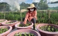 Đã Nẵng: Những khu vực nào nông dân đang tất bật xuống giống vụ hoa Tết?