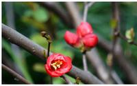 Mùa đông, đừng vội di chuyển cây cảnh này vào nhà, càng lạnh hoa nở càng đẹp