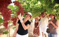 Bình Thuận: Đưa giống nho ngoại về trồng xứ thanh long, trái ngọt mà còn sai lúc lỉu