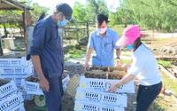 Ứng dụng chế phẩm vi sinh trong nuôi gà ở Quảng Nam:  Gà ít bệnh, giảm thiểu ô nhiễm môi trường