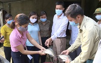Tuyên Quang: Nuôi cá rô phi toàn đực, bắt lên bán toàn con to, lãi gấp 3 lần so với nuôi cá truyền thống