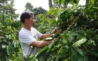 """Lâm Đồng: """"Siết"""" việc sử dụng hoạt chất Glyphosate để diệt cỏ trên vườn cà phê"""
