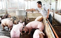 Người chăn nuôi lỗ hàng triệu đồng cho mỗi tạ heo nhưng vẫn phải bán