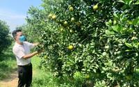 Nông dân đầu tiên của tỉnh Thanh Hóa trồng cam đạt chuẩn toàn cầu- GlobalGAP, bỏ tiền tỷ thu tiền tỷ