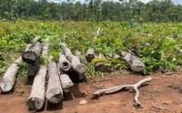 """Khởi tố vụ án hình sự gỗ """"vô chủ"""" bất ngờ nằm trong Trung tâm Bảo tồn voi"""