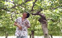 Bình Thuận: Bí quyết gì giúp đặc sản táo Tuy Phong giữ được giá bán cao?