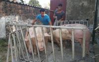 """Giá lợn hơi """"chạm đáy"""" sau gần 2 năm, bán 1 con lợn người dân lỗ 2 triệu đồng"""