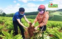 Đắk Nông: Trồng thứ cây lạ, củ ra từng chùm như trứng cút, nông dân đào lên không biết bán cho ai