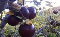 Đây là loại táo đen để lạnh vài tháng ăn mới ngon