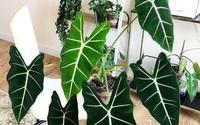 Loại cây cảnh cực đẹp để trồng trong nhà nhưng nếu bạn có trẻ con phải thận trọng