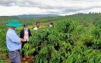 Gia Lai: Nông dân Chư Păh thi đua sản xuất giỏi