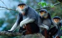 Đà Nẵng vừa phát hiện đàn Voọc hoang dã quý hiếm ở rừng Bà Nà - Núi Chúa