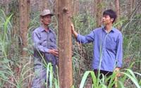 """Bình Định: Trồng rừng gỗ lớn để """"xóa"""" đứt gãy cung ứng nguyên liệu gỗ"""