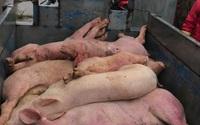 Hà Nam: Xuất hiện ổ dịch tả lợn châu Phi, tiêu hủy 139 con lợn