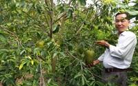 Vì sao nông dân tỉnh Tiền Giang phá bỏ loài cây ra trái đặc sản, từ 1.000ha, này còn có hơn 100ha?
