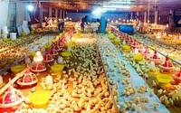 Giá gia cầm giảm, nông hộ treo chuồng, nguy cơ thiếu gà dịp tết