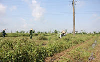 Thái Bình: Trồng cây dại ở đồng bỏ hoang, mỗi năm cắt dây 2 vụ, chàng nông dân lãi 400 triệu/năm