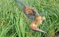 Ninh Bình: Ám ảnh những con chim trời mắc lưới chết khô trên đồng lúa, mua bán chim trời rôm rả