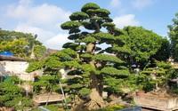 Ninh Bình: Cây duối cổ thụ đẹp long lanh của ông nông dân khiến giới chơi cây cảnh cả nước xôn xao, trầm trồ