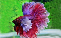 5 loại cá cảnh dễ nuôi, bắt mắt