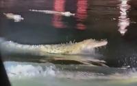 Băng qua đường bỗng sợ chết khiếp vì đụng độ... 6 con cá sấu