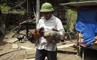 Nghệ An: Nuôi loại gà đặc sản đen từ ngoài vào trong, nông dân xã biên giới giàu lên trông thấy
