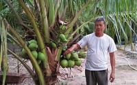 Trồng dừa giống gì mà cây thấp tè đã ra trái quá trời, ông nông dân tỉnh Bình Định hái bán quanh năm