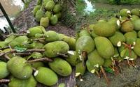 Giá mít Thái hôm nay 24/10: Mít tiếp tục giảm mạnh, lượng phân hữu cơ khổng lồ ở vườn mít không phải ai cũng biết