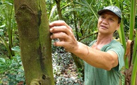Loại cây siêu lợi nhuận đổ bệnh chết hàng loạt, nông dân miền Tây rơi nước mắt