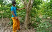 Gia Lai: Làng dân tộc Ba Na đang nắm trong tay gia tài hàng chục tỷ nhờ trồng loài cây quý này