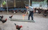 Giá gia cầm hôm nay 25/10: Nhiều chủ trại gà, vịt thua lỗ, người nuôi theo cách này vẫn có lãi đều