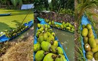 Giá mít Thái hôm nay 25/10: Giá mít cao nhất 23.000 đồng/kg tại tỉnh Tiền Giang, giảm chi phí, trồng mít nên bón phân gì?